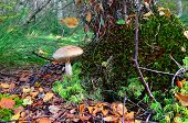 Boletus Scaber (leccinum Scabrum) Under The Old Birch