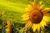 image of sunflower  - Tuscany sunflowers - JPG