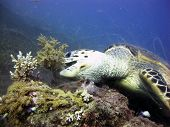 Turtle eating soft coral