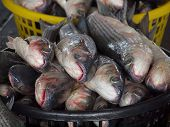 Grey Mullet Fish For Sale At The Fishmarket