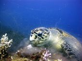 stock photo of hawksbill turtle  - Hawksbill turtle eating soft broccoli coral - JPG