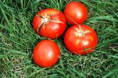 Tomatoes in a grass.