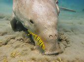 Pilot jack and dugong
