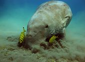 stock photo of sea cow  - A sea cow  - JPG