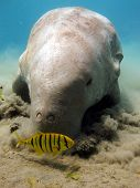 stock photo of sea cow  - A sea cow eats seagrass with a juvenile pilot jack - JPG