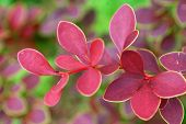 stock photo of barberry  - Bush of red leaves decorative barberry autumn - JPG