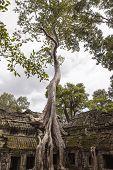 Árvore de Spung no templo de Ta Prohm