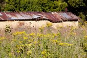 Yellow Wild Flowers Surrounding Dilapidated Rural Shed