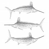 Hand drawn illustration of White Marlin