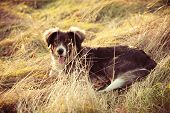 pariah dog sit in yellow grass warm winter day retro colors