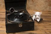 White chihuahua puppy playing with an antique gramophone