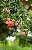 Fresh Lichi On Tree