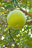 Green Grapefruit Growing On Tree.