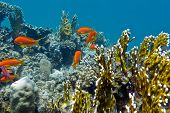 picture of fire coral  - coral reef with hard corals and exotic fishes anthias at the bottom of tropical sea on blue water background - JPG