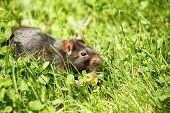 picture of rats  - rodent pet rat eating cake outdoor in grass - JPG