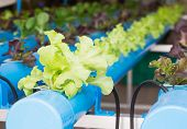 Organic Hydroponic Vegetable  In Greenhouse