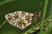 Small Pearl-border Fritillary Butterfly