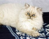 Persian baby to colour of four months, kitten with the blue eyes