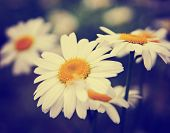 foto of hay fever  -  a bunch of pretty daisy like flowers done with a soft vintage instagram like effect filter  - JPG