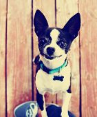 a cute chihuahua begging to be picked up  done with a vintage retro instagram filter