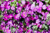 Primula Malacoides Flowers