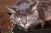 stock photo of blue tabby  - Closeup of a blue tabby cat sleeping on the back of a couch - JPG