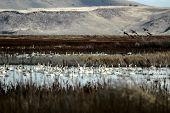 Tundra Swan, Cygnus Columbianu