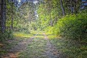 Walking Road In  The Pinewood Forest Near Marina Romea