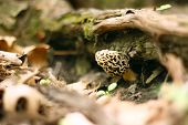 stock photo of morel mushroom  - A small yellow Morel Mushroom is growing on the forest floor underneath some moss covered tree roots - JPG