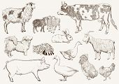 foto of cattle dog  - farm animals - JPG