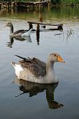 Geese swim in the lake. Grey Goose home enjoys water