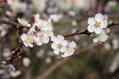 White Flowers Of The Cherry Tree
