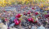 Cranberries Vaccinium Vitis-idaea Alpine Plants
