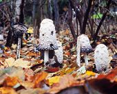 Shaggy Mane Mushrooms Coprinus Comatus Fall Leaves