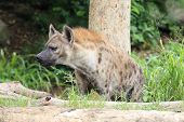 stock photo of hyenas  - Hyena looking at something in the wild - JPG