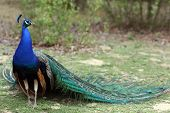 stock photo of indian peafowl  - Details of an indian peafowl displaying in captivity - JPG