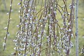 foto of pussy-willows  - spring many  fluffy pussy - JPG