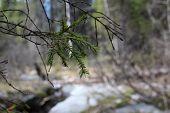fir-tree branch (macro)