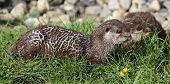 Pair of Oriental small-clawed otter