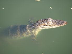 pic of gator  - baby gator resting in water warming itself - JPG