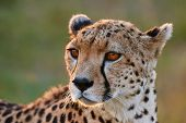 image of cheetah  - Portrait of a wild female cheetah in Kenya - JPG