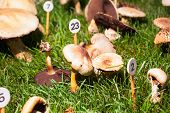 image of agaricus  - Close up of the mushroom Agaricus porphyrizon - JPG