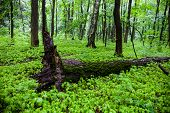 Green Summer Forest With The Fallen Tree