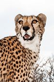 picture of tame  - A tame cheetah on the lawn of a farmhouse in Namibia - JPG