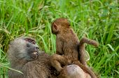 picture of tall grass  - Baby baboon riding on the back of his mother as she is walking through the tall green grass - JPG