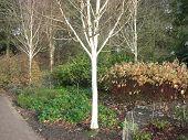 A Beautiful Silver Birch Tree