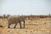 Isolated elephant in Etosha