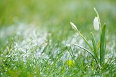 sparkly snowdrop flower with snow, very soft tiny focus, perfect for spring gift card