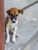 Thai Stray Puppy Dog