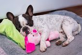 French bulldog puppy sleeping on the pillow with toy